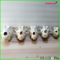 1pcs LAB Real Dog Dentition Model The dog teeth skull jaw bone solution planing teaching Veterinary Animal model specimens