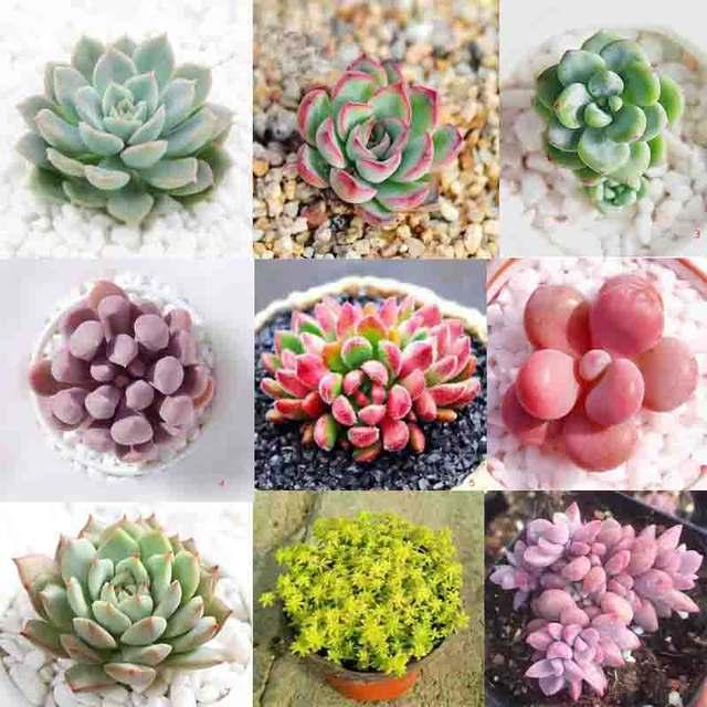 Succulent Plant Flower Seeds Flower Bulbs Office Desk Flowers