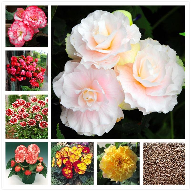 50Pcs Colorful Begonia Tuberous Seeds Bonsai Home Aromatic Flower Nature Plants Garden Malus Spectabilis Essence Lip Mask A15