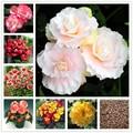 50 штук/упаковка Бегония клубневые семена бонсай для дома ароматический цветок Природа растения для сада Malus Spectabilis эссенция маска для губ A15