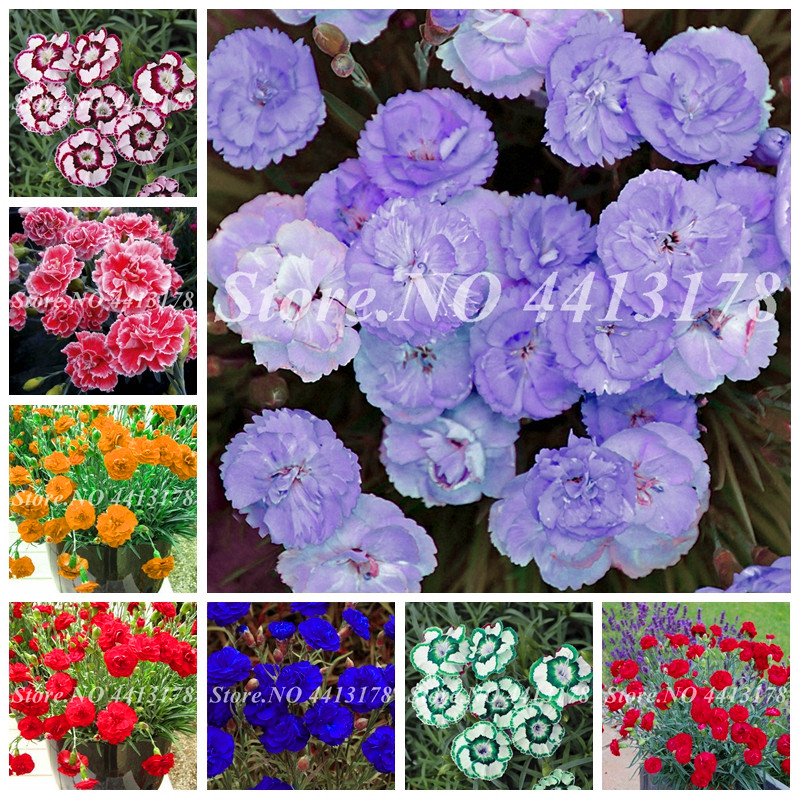 Rare Carnations Bonsai Flowers Bonsai Indoor Dianthus Caryophyllus Flowers Potted For Home Garden Planting Mom Gift 200 Pcs/ Bag