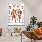 Human Anatomy Muscul...