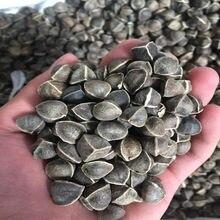 50 шт.-1000 шт., 99%, высокая степень прорастания Моринга, Моринга олифера, его можно посадить и употреблять, бесплатная доставка