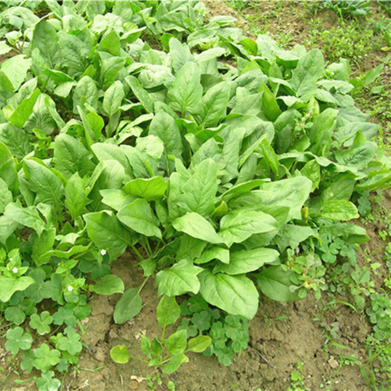 Nutritious Spinach Outdoor Juicy Vegetable Bonsai NO-GMO Plant For Home & Garden Flower Pot Planting Easy Grow 100 Pcs/ Bag