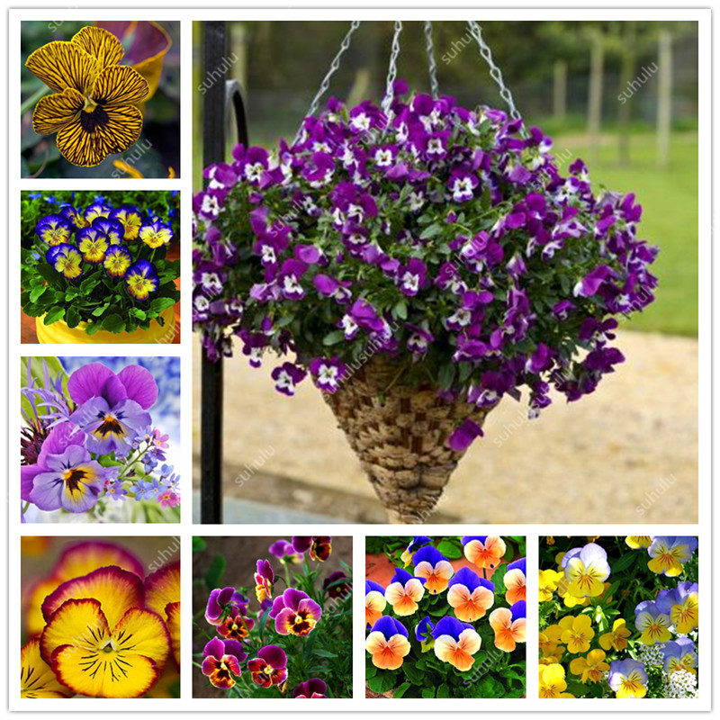200 Pcs Mexican Imported Pansy Bonsai Wavy Viola Tricolor Pansy Flower Bonsai Potted Plant DIY Home & Garden Decoration Planta