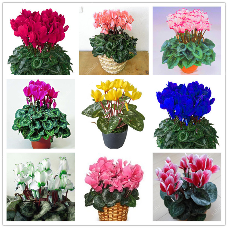 200 Pcs Mixed Cyclamen Bonsai Indoor Potted Flower Plants Perennial Flowering Plants For Balcony Garden Bonsai Natural Growth