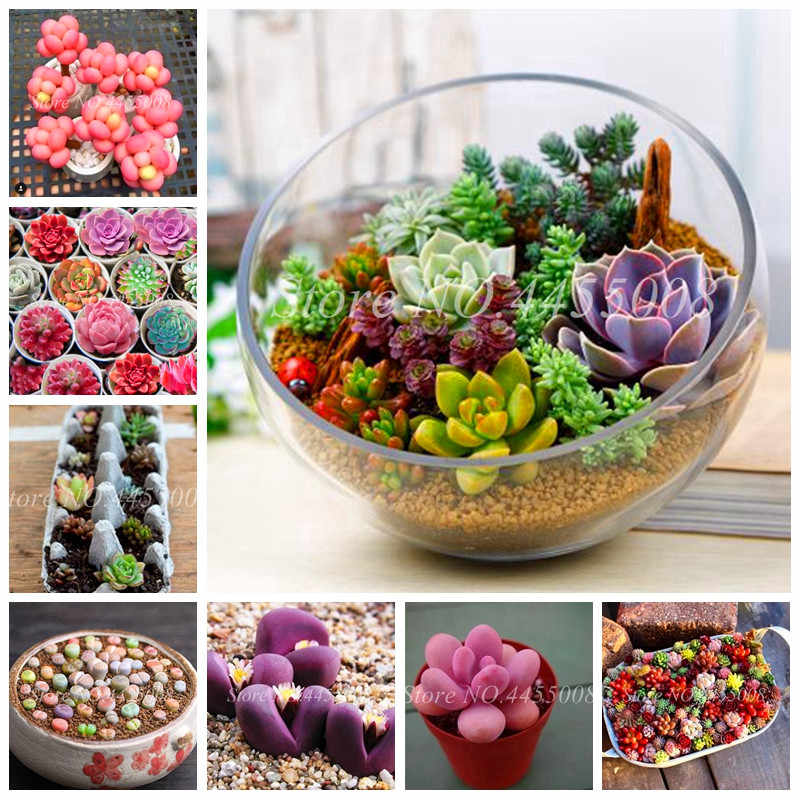 500 ชิ้น/ถุง Exotic Mini Succulent Cactus หายาก Succulent Perennial Herb พืช Bonsai หม้อดอกไม้ในร่มสำหรับ Garden Flore หม้อ