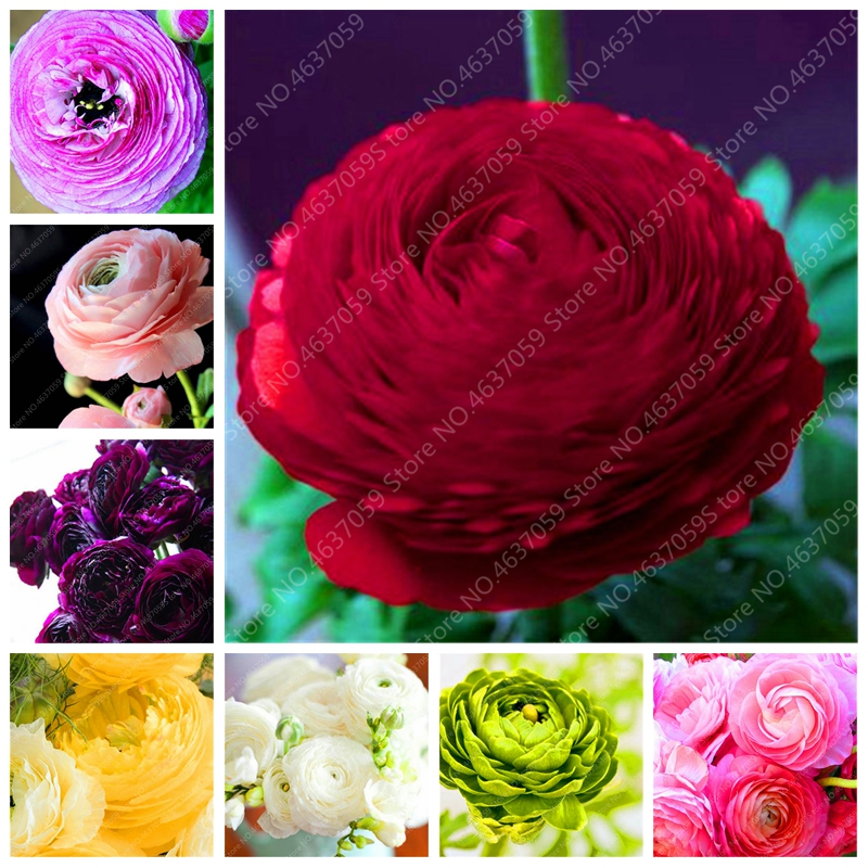 200 Pcs/ Bag Rouge Ranunculus Flower Bonsai Indoor Bloom Plant Home DIY Persian Buttercup Potted Flower Plant