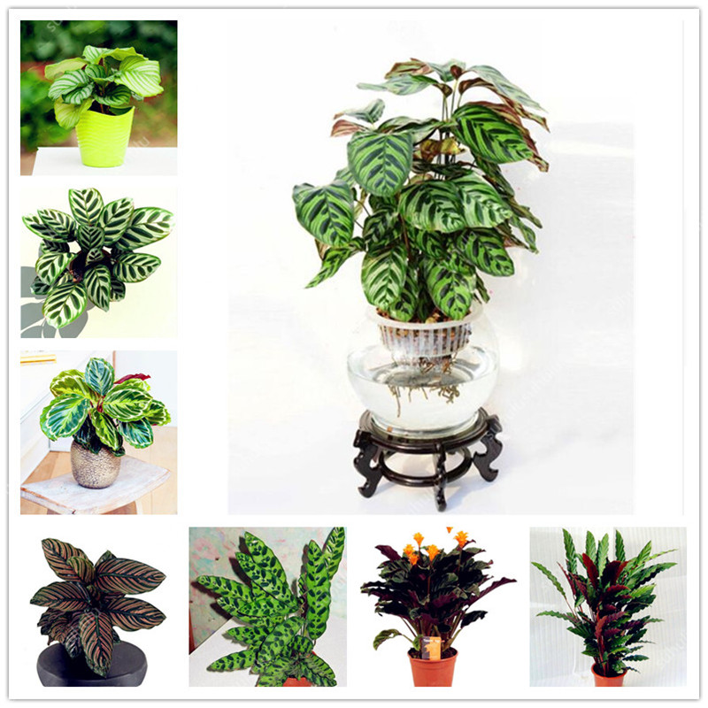 100 Pcs Rare Calathea Bonsai Air Freshening Plants High Humidity, Easy To Grow, Office Desk Bonsai For Flower Pot Planters