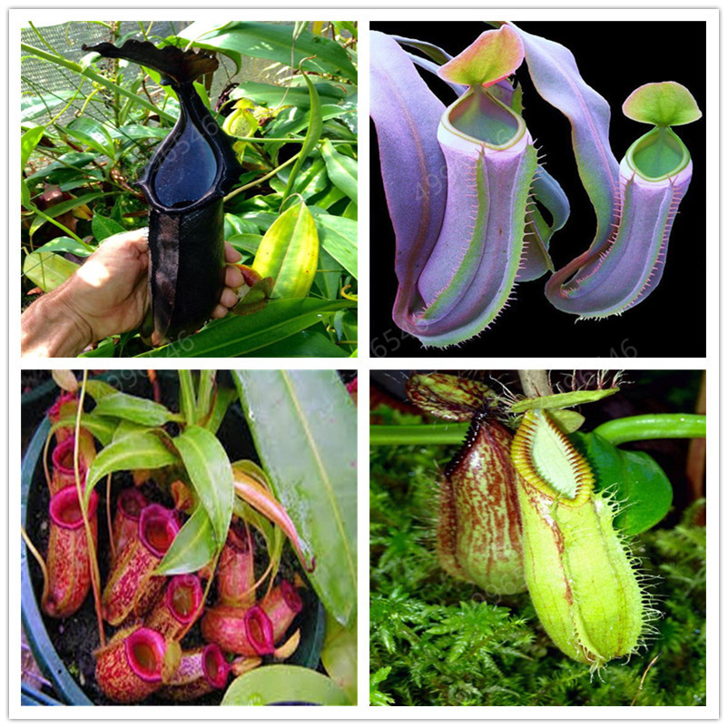 Time-Limit!!Nepenthes Garden Balcony Potted Bonsai Plants Flores Bonsai Carnivorous Plants Plantas 50 Pcs/Pack