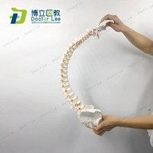 Colonne vertébrale humaine Flexible de 85cm avec la courbe lombaire vertébrale de fémur modèle anatomique outil d'enseignement médical de colonne vertébrale d'anatomie