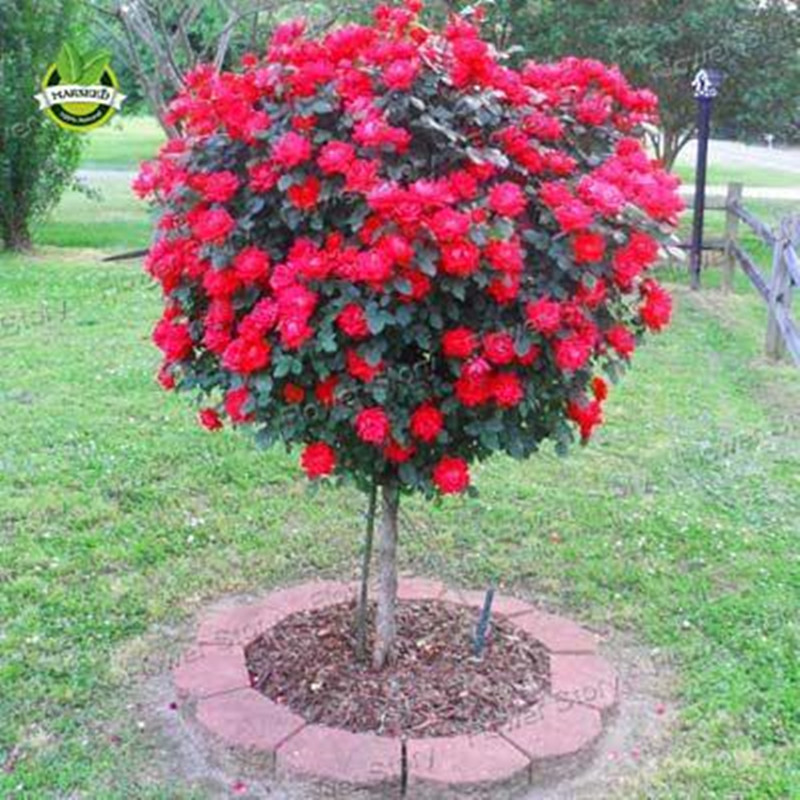 50Pcs Red Rose Tree Seeds, Gorgeous Bright-colored, DIY Home Garden Potted ,Balcony & Yard Flower Plant Free Shipping