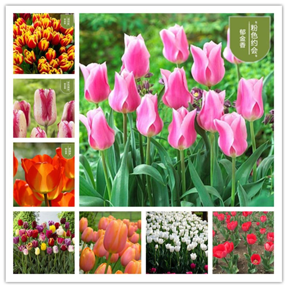 Plant Flowers Bath Salts Dutch Tulip Essence 100Pcs XZZ-104