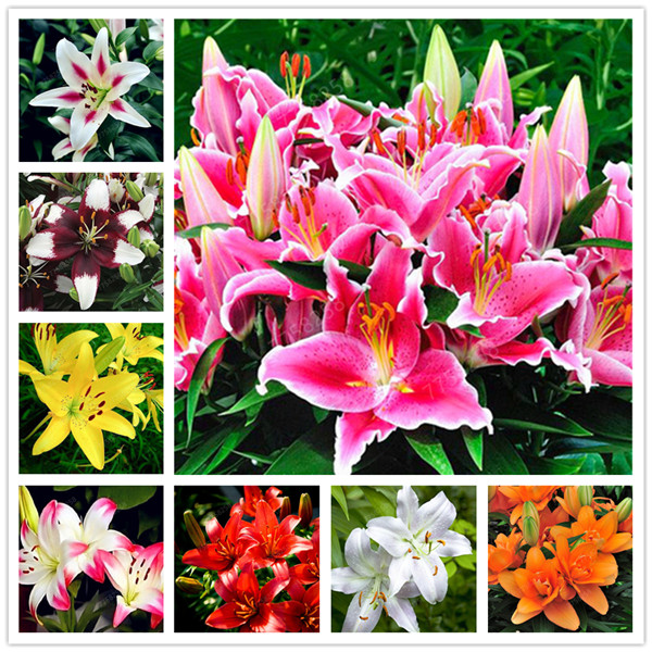 100 Pcs Rare Lily Penzai Not Bulbs Exotic Penzai Lilium Flower Potted Pleasant Fragrance Plant For Home & Garden Flower