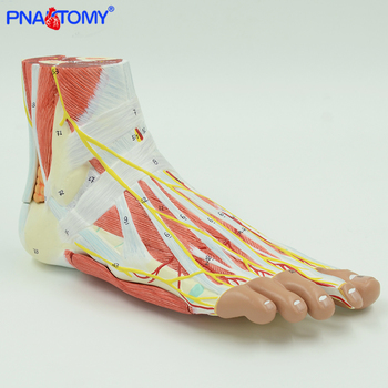 Life size human foot anatomy model leg muscle anatomical models for education medical organ artery and nervous system 12471 cmam anatomy33 human male reproductive system anatomical model for medical science
