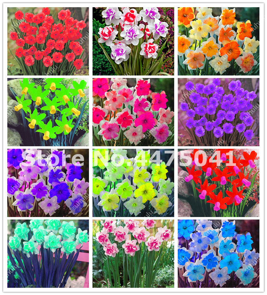 100 pcs Flower Daffodil Bonsai,Daffodil Flores(Not Bulbs)Bonsai Narcissus Flower Aquatic Plants Double Petals Home Garden Decor