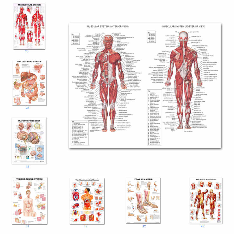 14x21 20x30/'/' G291 Musculature Anatomy Chart Art Poster Silk Cloth