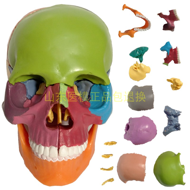 1/2 Life Size 15 Parts Human Anatomy Colorful Assembled Skull Medical Model  Human Skeleton Toy