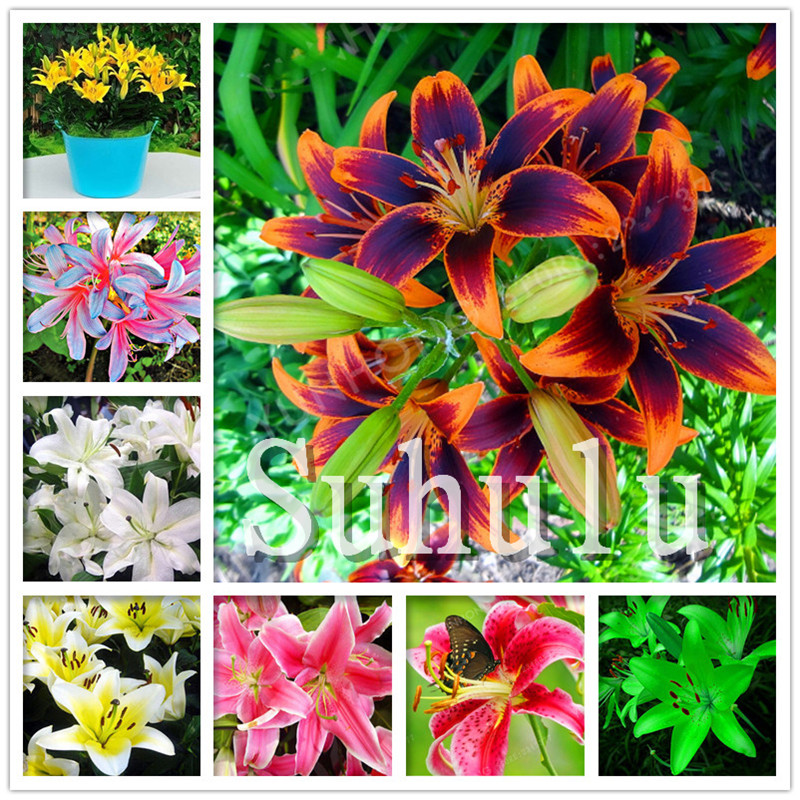 Loss Promotion!100Pcs Double Lily Flower Plants Indoor Potted Flower Pot Ball Perfume Lily Bonsai,Natural Growth For Home Garden