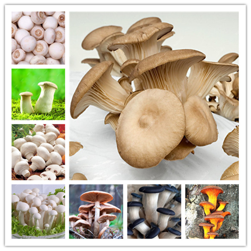 Delicious Mushrooms Bonsai, 100 Pcs Vegetable Plants Rare Pleurotus Mushroom Strains Geesteranus Bonsai Easy Growing DIY Garden