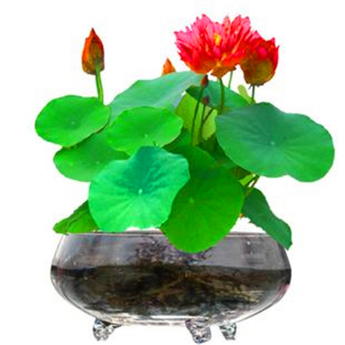 Selling! 5Pcs Red Beautiful Water Lily Bonsai Hydroponics Plant Aquatic Plant Flower Pot Lotus Water Lily Plant Bonsai Garden