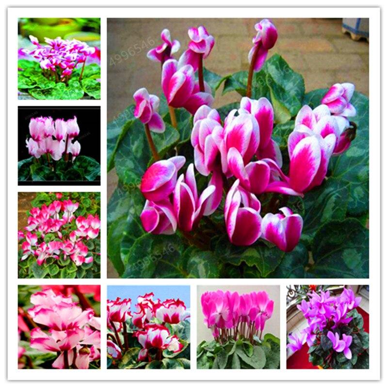 100 Pcs Semi Di Ciclamino Bonsai Misto Coperta Di Fiori In Vaso Piante Perenni Piante Da Fiore Per Balcone Giardino Bonsai Crescita Naturale