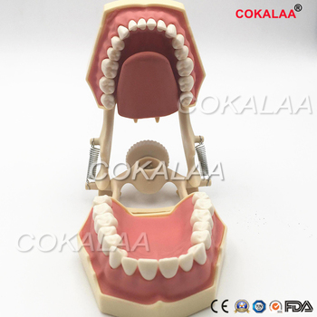 1 Piece SF Type Dental Study Model Screw Fixed Teeth Model, Soft Gum & DP Articulator for Dental Teaching