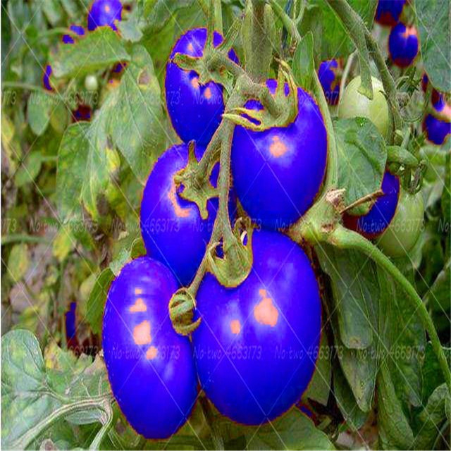 Plant Flower Bath Salts Rainbow tomato Essence 100Pcs XZZ-82 5