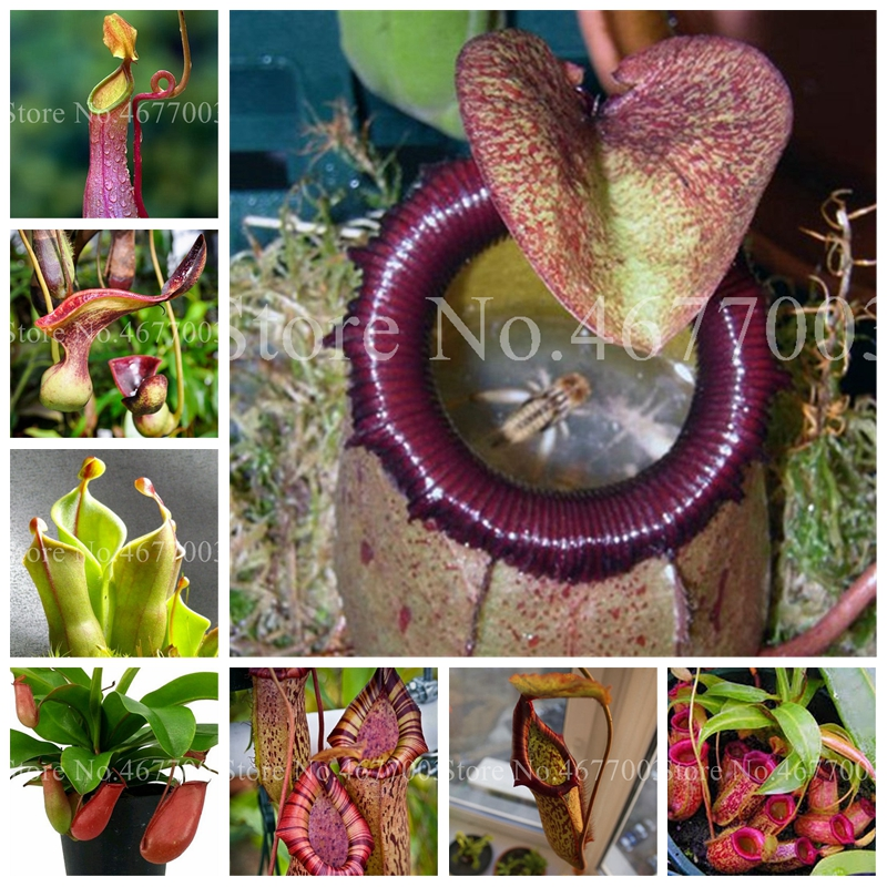 100-pcs-striped-nepenthes-bonsai-eating-mosquito-carnivorous-plants-tropical-pitcher-plant-catch-insect-garden-bonsai-potted