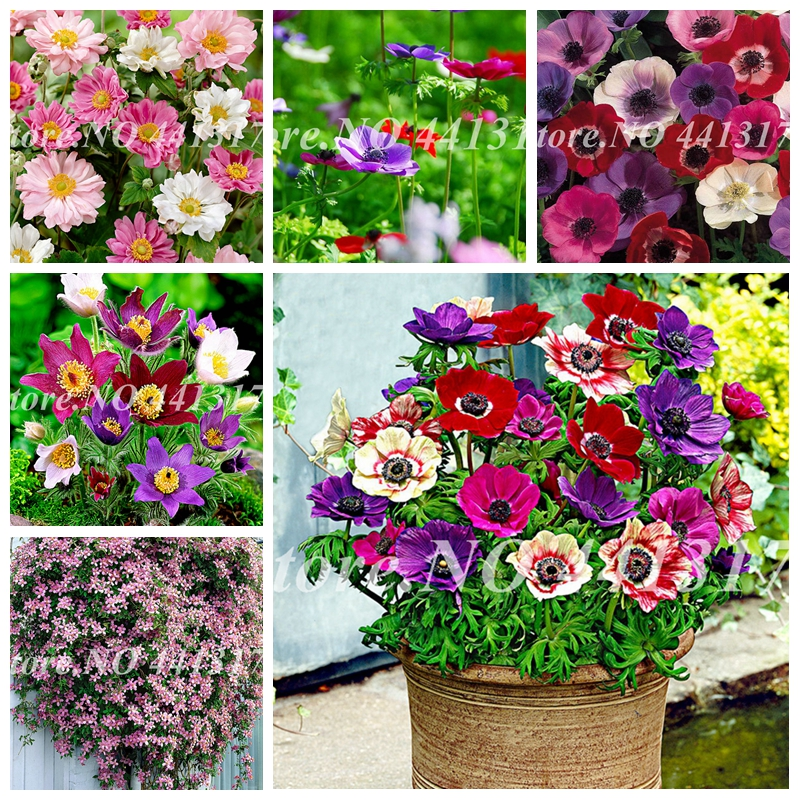 Sale 100 Pcs Mixed Anemone Bonsai Wedding Home Decor Bouquet Rare Flower Plant Potted Gift For Home Garden Flower Pot Planter