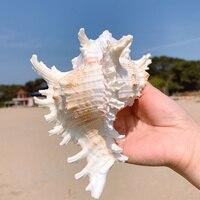 Mil mão caracol crisântemo caracol concha natural aquário decoração caso paisagem estilo mediterrâneo|Conchas e estrelas do mar| |  -