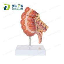 Модель анатомии большого кишечника caecum и приложение увеличенная