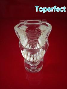 Image 5 - Transparante Hars Hond Anatomische Tanden Onderwijs Demonstratie Veterinaire Dier Skeleton Crystal Specimen Gebit Model