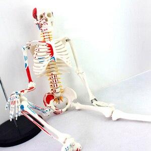 Image 2 - Autentyczny Deluxe 85CM Model ludzkiego manekina z rdzeniem kręgowym Model medycznego szkieletu nauczania medycznego