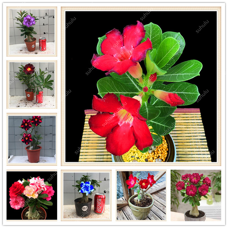 2 Pcs Desert Rose Bonsai Potted Flowers Bonsai Adenium Obesum Indoor Bonsai Plant Mini Potted Tree For Home Garden Plant