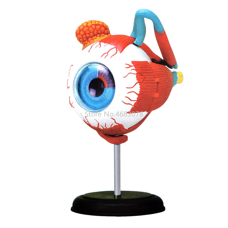 4d Human eye structure and eyeball tissue Anatomical assembly model School Laboratory Medical teaching Education Equipment
