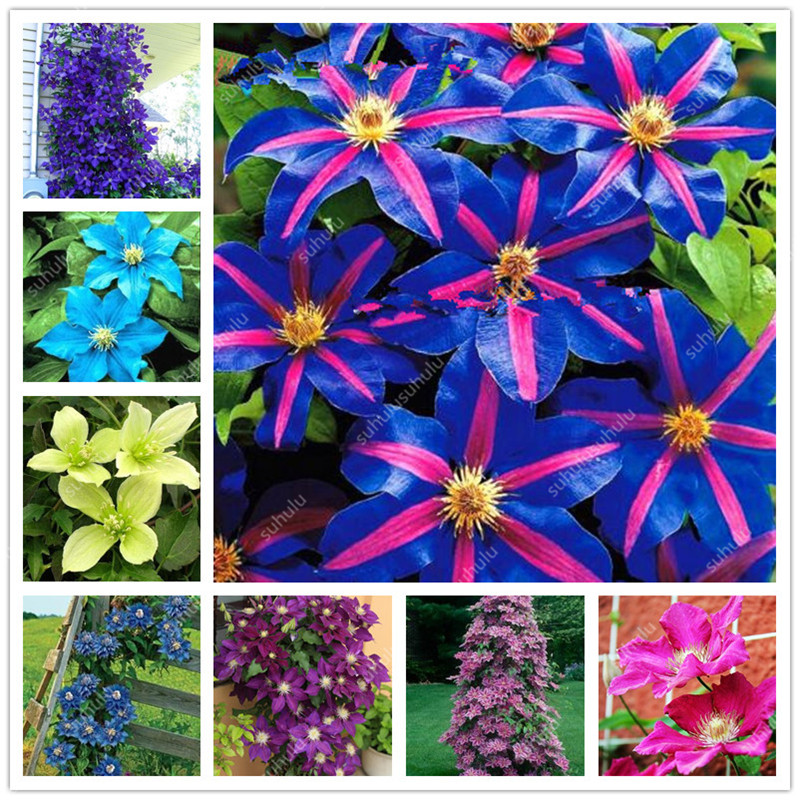 100 Pcs Clematis Bonsai Real Rare Clematis Plant Outdoor Plant Natural Growth Bonsai Home Garden DIY Plant Best Birthday Gift