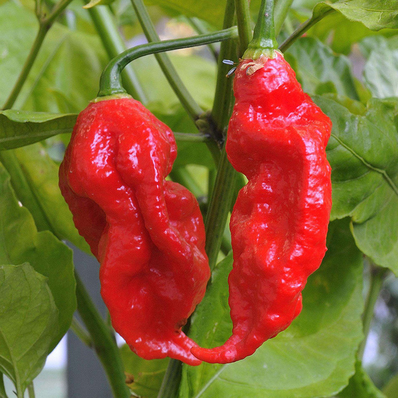 Chili Pepper 100