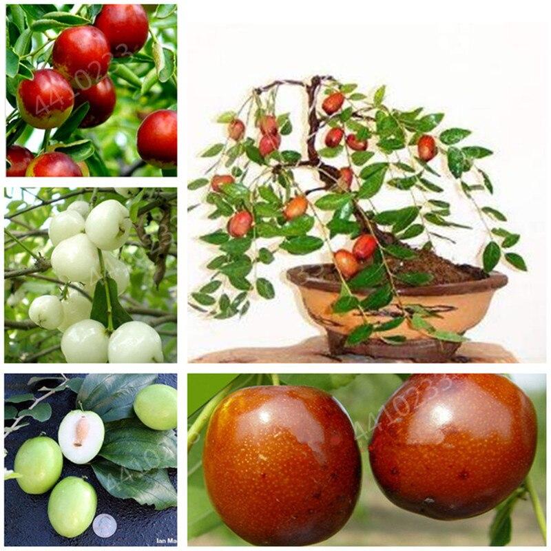 Bonsais Four Seasons Potted Sweet Jujube Bonsais Balcony Vegetables Fruits Bonsai Plant DIY Home Garden ,Easy To Grow 5pcs