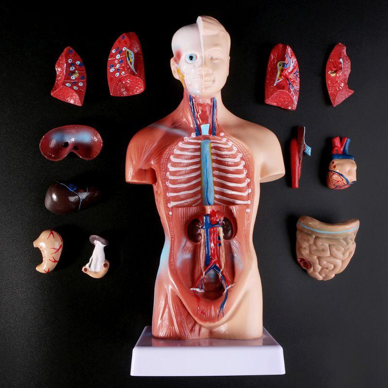 Human Torso Body Model Anatomy Anatomical Medical Internal Organs For Teaching M5TB
