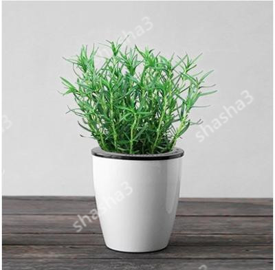 Rosemary Flower Bonsai Plants For Home Garden Gardening Decorations And Ornaments Kitchen Seasoning Outdoor Fast Growing