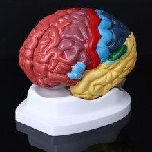 생활 크기 인간의 두뇌 기능 영역 모델 해부학 과학 교실 연구 디스플레이 교육 조각 학교