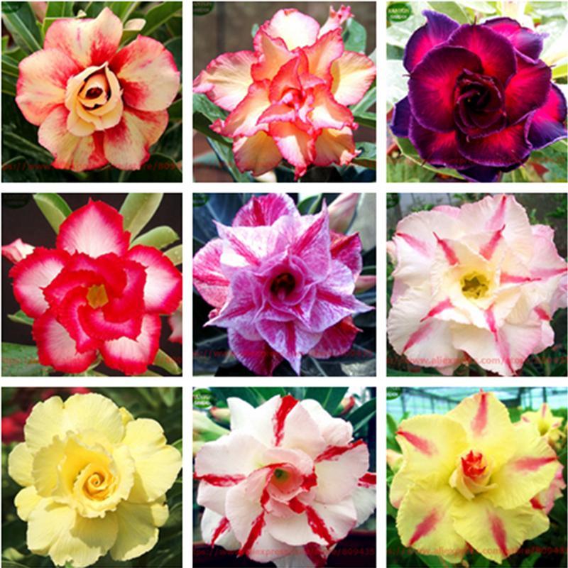 Plant Flower Bath Salts Multicolor Adenium Obesum Essence 100Pcs XZZ-93