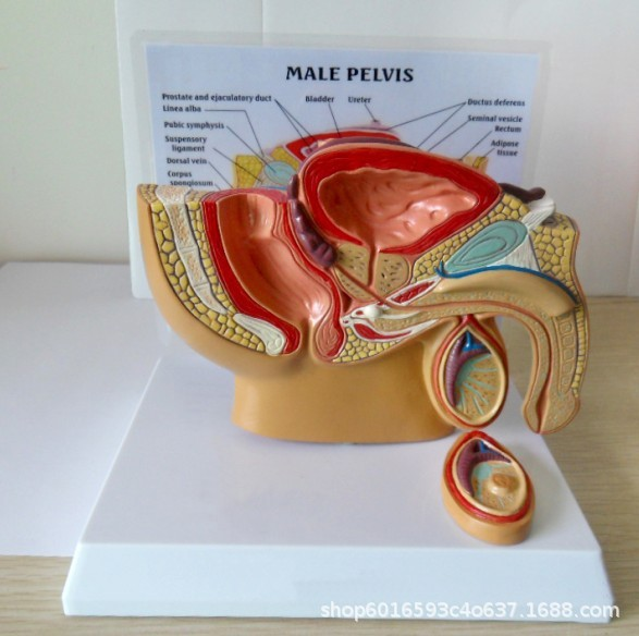 1:2 Life-sized Female Male Pelvic Sagittal Section Testis Prostate Bladder Rectum Urinary System Model