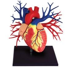 Modelo de vida-tamanho modelo de dentes com esqueleto humano anatomia 1:1 crânio humano médico esqueleto anatômico modelo humano anatomia do coração humano