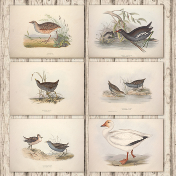 Land Rail Common Gallinule Crake Snow Goose Europe Bird Canvas Painting Vintage Kraft Poster Coated Wall Sticker Home Decor Gift image
