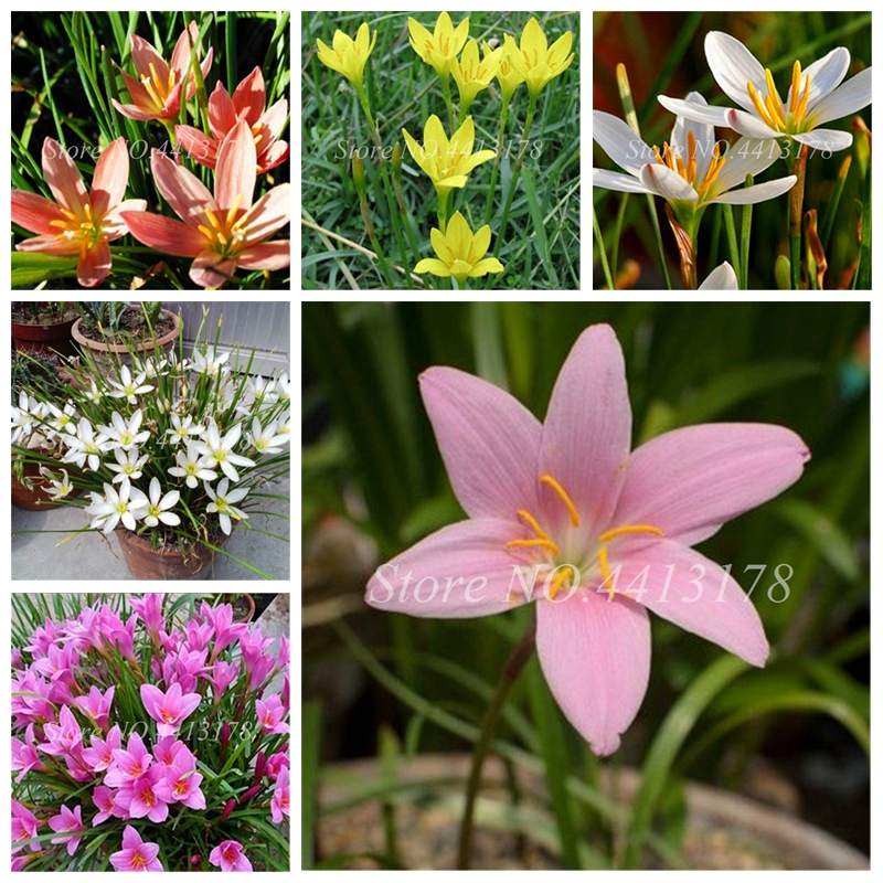 Imported Zephyranthes Candida Lily Flower Indoor Bonsai Potted Easy Planting Balcony Patio Flower Plant For Home Garden 100pcs