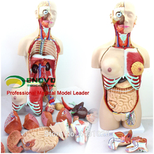 ENOVO Anatomical model of anatomical system of 85CM human. organ system l h pammel anatomical characters of the seeds of leguminosae chiefly genera of grays manual