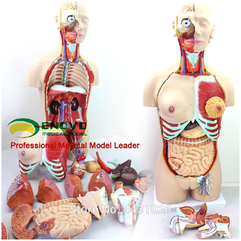 ENOVO Anatomical model of anatomical system of 85CM human. organ system the lymphatic system model senior lymphatic system anatomical model