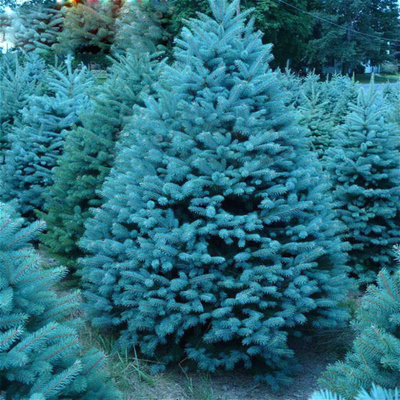 20 Seeds /bag Home Garden Pine Plant Sky Blue Spruce Picea Pungens Glauca Tree Seeds Sementes Perennial Seed Houseplants Watch *